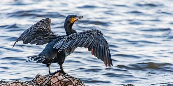 La faune et la flore du Golfe du Morbihan: le cormoran