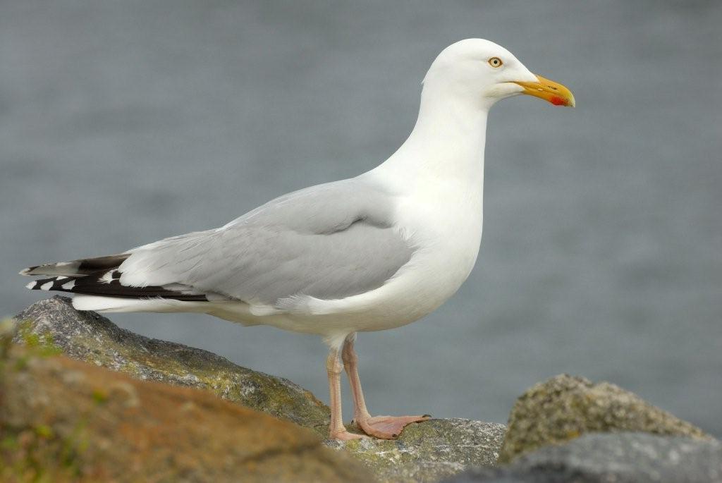 La faune et la flore du Golfe du Morbihan: le goéland argenté