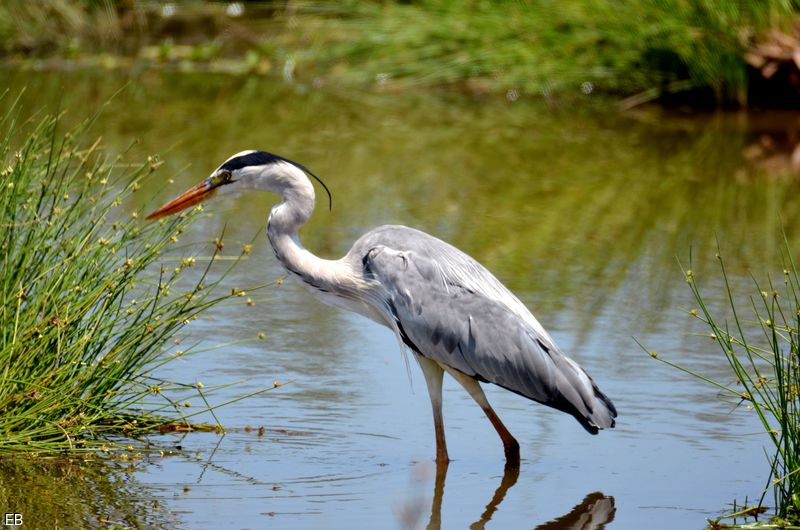 La faune et la flore du Golfe du Morbihan: le héron cendré